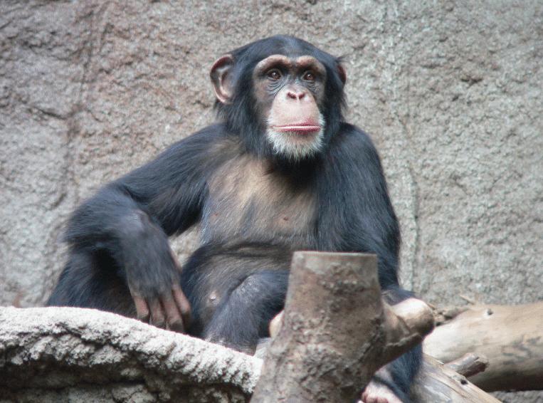 Wounda, le chimpanzé qui relance le débat sur l'intelligence animale