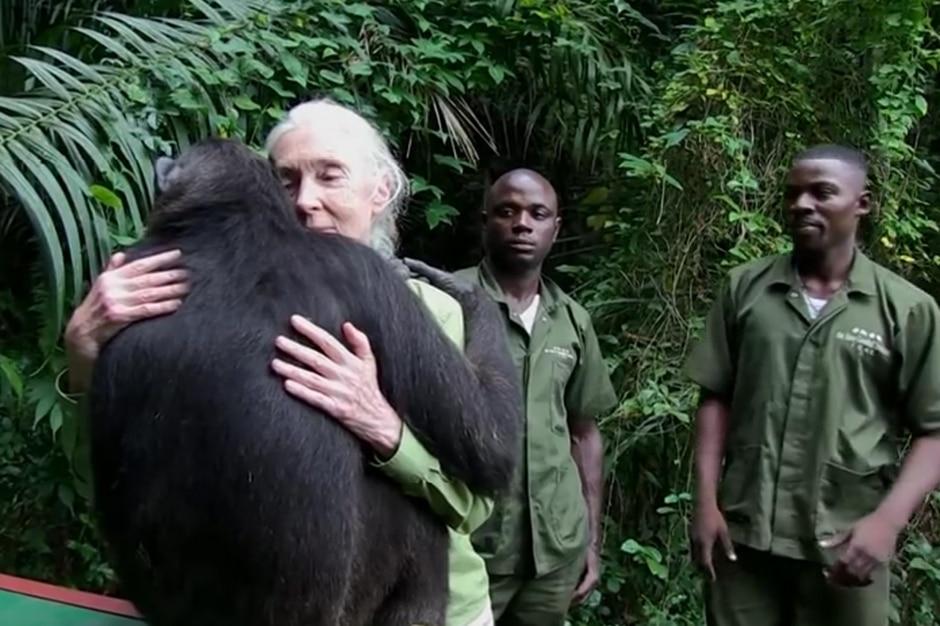 Wounda, le chimpanzé qui relance le débat sur l'intelligence animale 2
