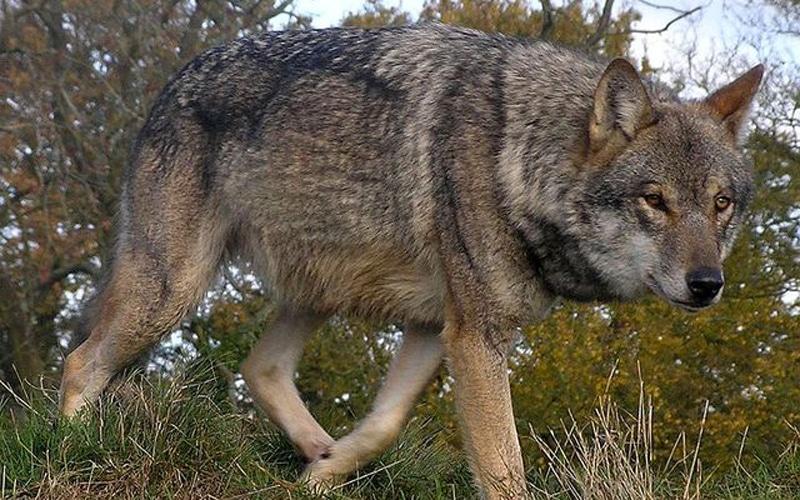 Le loup de retour en France-1