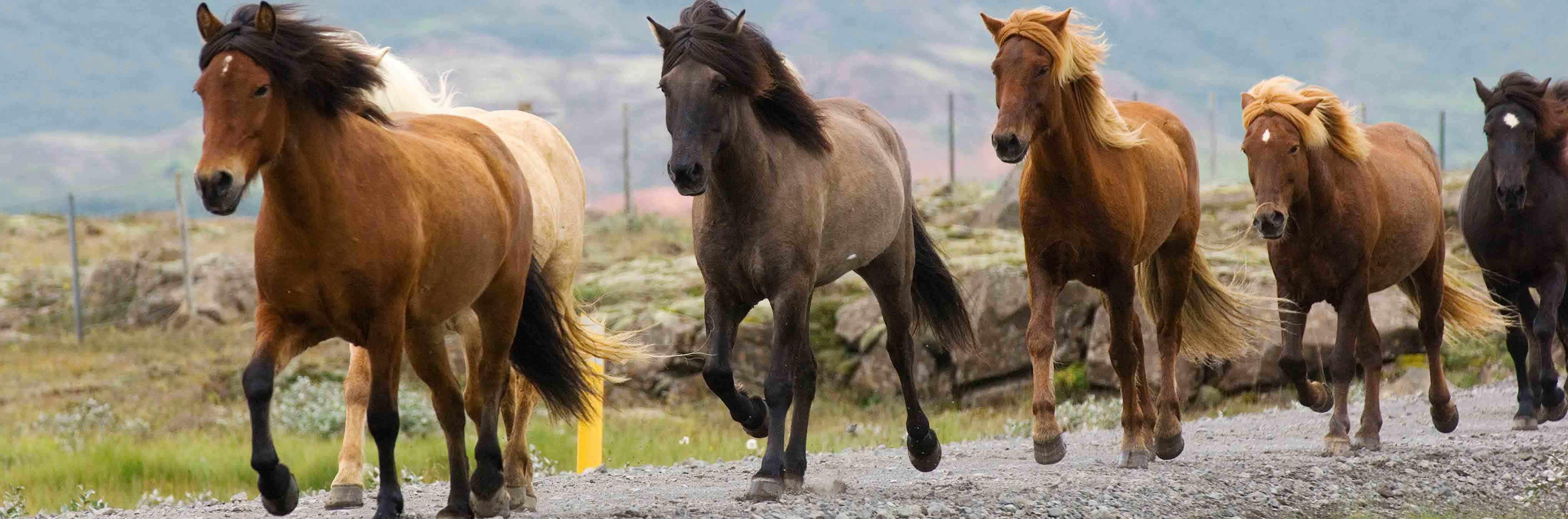 la magnifique lign e des chevaux islandais ces chevaux du nord. Black Bedroom Furniture Sets. Home Design Ideas